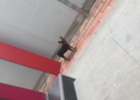 寻狗启示,小杜宾 母 无尾 增城镇龙西地铁B出口,它是一只非常可爱的宠物狗狗,希望它早日回家,不要变成流浪狗。