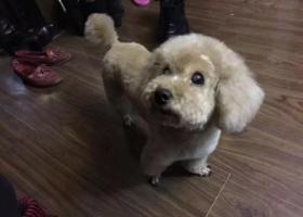 寻狗启示,寻白内障双目失明泰迪,名小宝,母8岁,它是一只非常可爱的宠物狗狗,希望它早日回家,不要变成流浪狗。
