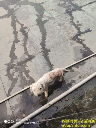 ,有一只受伤的白色泰迪,它是一只非常可爱的宠物狗狗,希望它早日回家,不要变成流浪狗。