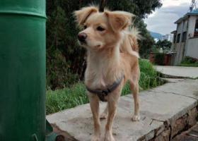 寻狗启示,昆明西南大厦附近捡到黄色小土狗,它是一只非常可爱的宠物狗狗,希望它早日回家,不要变成流浪狗。
