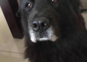 寻狗启示,厚街水库遗失一只黑色金毛,年齡約11歲,它是一只非常可爱的宠物狗狗,希望它早日回家,不要变成流浪狗。
