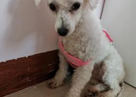 寻狗启示,龙华清湖,捡到白色母泰迪,它是一只非常可爱的宠物狗狗,希望它早日回家,不要变成流浪狗。