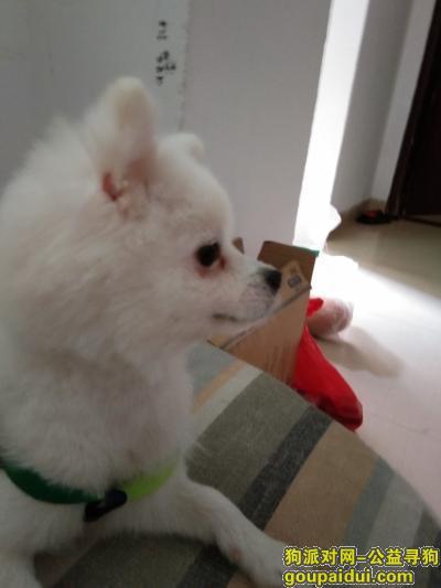 泉州找狗,一只博美在福建省泉州市果蔬批发市场走失,它是一只非常可爱的宠物狗狗,希望它早日回家,不要变成流浪狗。