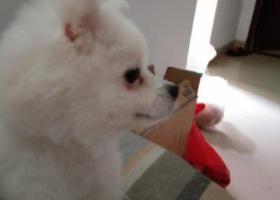寻狗启示,一只博美在福建省泉州市果蔬批发市场走失,它是一只非常可爱的宠物狗狗,希望它早日回家,不要变成流浪狗。