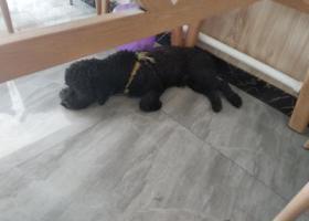 寻狗启示,黑色泰迪狗狗中型犬  耳朵没有毛  圆形尾巴,它是一只非常可爱的宠物狗狗,希望它早日回家,不要变成流浪狗。