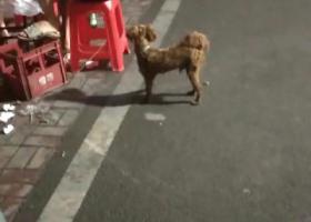 寻狗启示,粽咖色 泰迪 毛被主人剪过 脖子有项圈 6月29就看见它流浪,它是一只非常可爱的宠物狗狗,希望它早日回家,不要变成流浪狗。