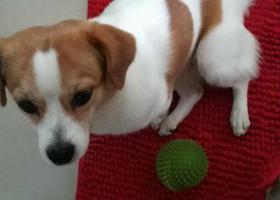 寻狗启示,重金寻狗广州东圃黄村,它是一只非常可爱的宠物狗狗,希望它早日回家,不要变成流浪狗。
