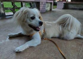 寻狗启示,东莞大朗寻找爱犬大白,它是一只非常可爱的宠物狗狗,希望它早日回家,不要变成流浪狗。