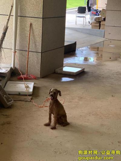 东莞捡到狗,在东莞松山湖捡到一直棕色贵宾犬,它是一只非常可爱的宠物狗狗,希望它早日回家,不要变成流浪狗。