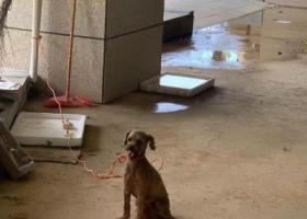 寻狗启示,在东莞松山湖捡到一直棕色贵宾犬,它是一只非常可爱的宠物狗狗,希望它早日回家,不要变成流浪狗。