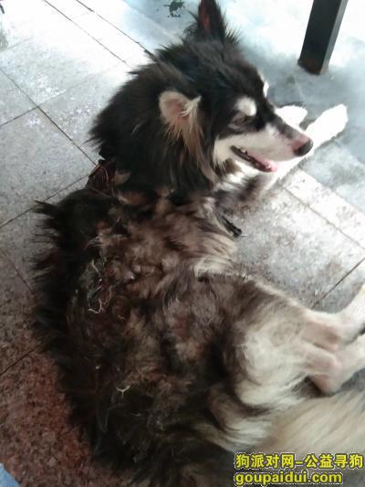 厦门寻狗主人,谁家的狗狗走丢了,看着好可怜,它是一只非常可爱的宠物狗狗,希望它早日回家,不要变成流浪狗。