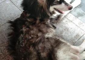 寻狗启示,谁家的狗狗走丢了,看着好可怜,它是一只非常可爱的宠物狗狗,希望它早日回家,不要变成流浪狗。