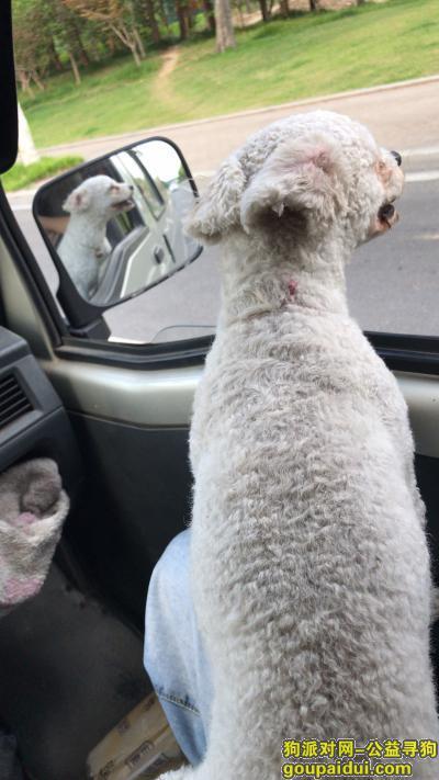 常州找狗,寻找一只白色泰迪,于2019年7月末丢失于常州市新北区安家舍,至今未归。白色泰迪两岁,有狗证,全身白毛剃短了。,它是一只非常可爱的宠物狗狗,希望它早日回家,不要变成流浪狗。