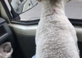 寻狗启示,寻找一只白色泰迪,于2019年7月末丢失于常州市新北区安家舍,至今未归。白色泰迪两岁,有狗证,全身白毛剃短了。,它是一只非常可爱的宠物狗狗,希望它早日回家,不要变成流浪狗。