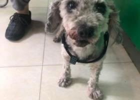 寻狗启示,康王中路瑞鹏宠物医院 捡到一只灰色贵宾犬 主人请联系18588783484 ,它是一只非常可爱的宠物狗狗,希望它早日回家,不要变成流浪狗。