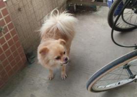 寻狗启示,谢岗镇稔子园工业区世本电子厂捡到一只柯基,它是一只非常可爱的宠物狗狗,希望它早日回家,不要变成流浪狗。