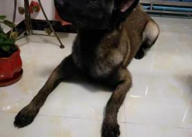 寻狗启示,大马犬一只走丢在天津大毕庄附近,麻烦看到的联系我18222370503,它是一只非常可爱的宠物狗狗,希望它早日回家,不要变成流浪狗。