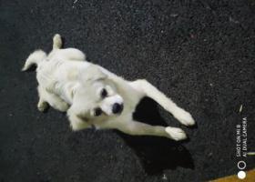 寻狗启示,寻找狗狗主人,深圳沙井,它是一只非常可爱的宠物狗狗,希望它早日回家,不要变成流浪狗。