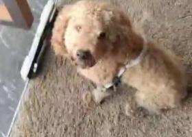 寻狗启示,泰迪狗狗是自己到我店的,广州黄村优托邦建材馆附近,希望丢失狗狗的主人看到。这只泰迪大概14斤重,已经给狗做过清洗。   爱狗的心,它是一只非常可爱的宠物狗狗,希望它早日回家,不要变成流浪狗。