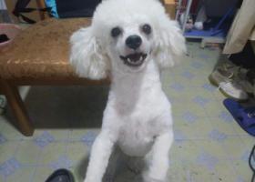 寻狗启示,花岗处走失一条白色比熊,它是一只非常可爱的宠物狗狗,希望它早日回家,不要变成流浪狗。