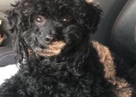 寻狗启示,北京泰迪丢失。 归还有偿,它是一只非常可爱的宠物狗狗,希望它早日回家,不要变成流浪狗。
