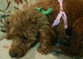 寻狗启示,寻找 泰迪狗狗 豆豆,它是一只非常可爱的宠物狗狗,希望它早日回家,不要变成流浪狗。