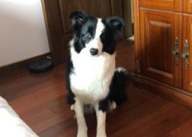 寻狗启示,达城锦园附近遗失黑白边牧,它是一只非常可爱的宠物狗狗,希望它早日回家,不要变成流浪狗。