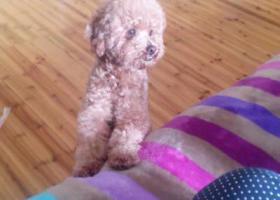 寻狗启示,母泰迪,缺下门牙!无锡喻松桥马巷附近,它是一只非常可爱的宠物狗狗,希望它早日回家,不要变成流浪狗。