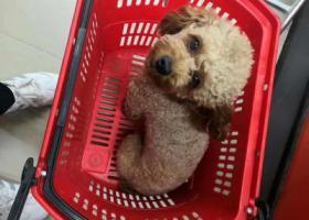 寻狗启示,机场路榆树林附近找一只小泰迪。,它是一只非常可爱的宠物狗狗,希望它早日回家,不要变成流浪狗。