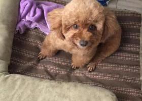 寻狗启示,松江文涵路天翔路附近寻母泰迪,它是一只非常可爱的宠物狗狗,希望它早日回家,不要变成流浪狗。