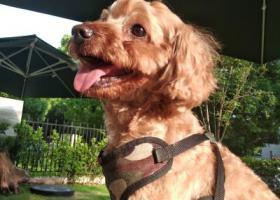 寻狗启示,寻狗,浅棕色泰迪,中小型,8月8日走失时穿有图种背带,它是一只非常可爱的宠物狗狗,希望它早日回家,不要变成流浪狗。