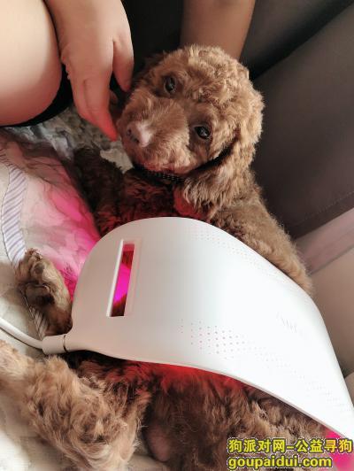 ,商丘找狗丢失的成年泰迪,它是一只非常可爱的宠物狗狗,希望它早日回家,不要变成流浪狗。