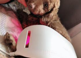 寻狗启示,商丘找狗丢失的成年泰迪,它是一只非常可爱的宠物狗狗,希望它早日回家,不要变成流浪狗。