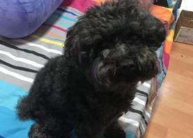 寻狗启示,上海静安区长临路三泉家园西门寻找黑色泰迪,它是一只非常可爱的宠物狗狗,希望它早日回家,不要变成流浪狗。