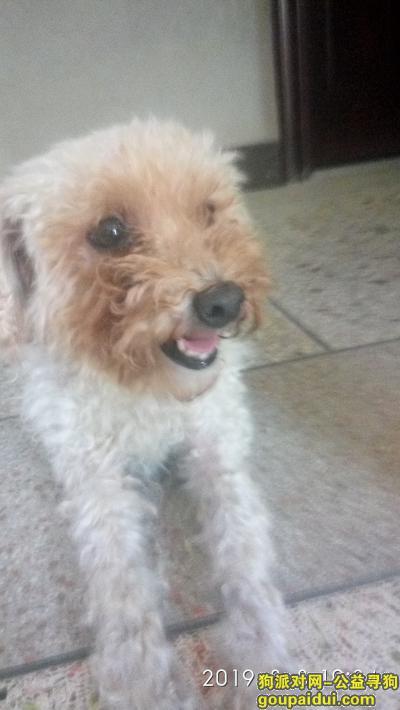 【梅州捡到狗】,寻找狗主人,白色母泰迪。,它是一只非常可爱的宠物狗狗,希望它早日回家,不要变成流浪狗。