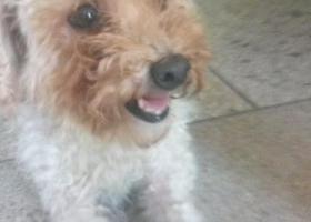 寻狗启示,寻找狗主人,白色母泰迪。,它是一只非常可爱的宠物狗狗,希望它早日回家,不要变成流浪狗。