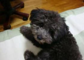 寻狗启示,寻找灰黑色泰迪,找到必酬谢,它是一只非常可爱的宠物狗狗,希望它早日回家,不要变成流浪狗。