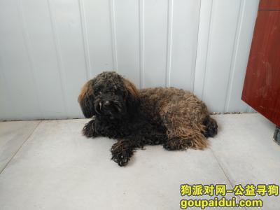 寻狗启示,望城区汇智路捡到黄黑色泰迪犬,它是一只非常可爱的宠物狗狗,希望它早日回家,不要变成流浪狗。