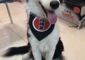 寻狗启示,东莞市寮步镇-寻狗启示,它是一只非常可爱的宠物狗狗,希望它早日回家,不要变成流浪狗。