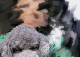 寻狗启示,请大家注意下我家灰贵!在泰山路税务局附近走丢,它是一只非常可爱的宠物狗狗,希望它早日回家,不要变成流浪狗。