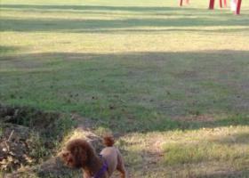 寻狗启示,寻棕红色泰迪,偏瘦,刚美容,身上己剃毛,它是一只非常可爱的宠物狗狗,希望它早日回家,不要变成流浪狗。