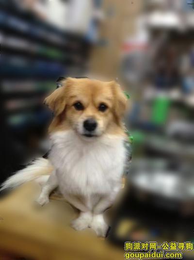 ,【寻狗启事】急急急急,它是一只非常可爱的宠物狗狗,希望它早日回家,不要变成流浪狗。