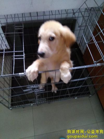 自贡寻狗网,寻找养了一年多走丢的金毛犬,它是一只非常可爱的宠物狗狗,希望它早日回家,不要变成流浪狗。