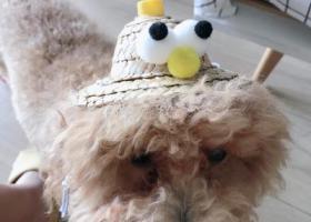 寻狗启示,大坪 永辉超市附近 寻浅棕色泰迪,它是一只非常可爱的宠物狗狗,希望它早日回家,不要变成流浪狗。