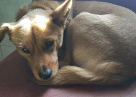 寻狗启示,狗名旺旺   中等黄狗  母,它是一只非常可爱的宠物狗狗,希望它早日回家,不要变成流浪狗。