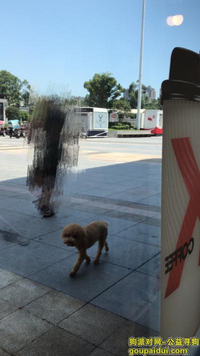 寻狗启示,重庆大坪永辉超市 寻浅棕色泰迪,它是一只非常可爱的宠物狗狗,希望它早日回家,不要变成流浪狗。