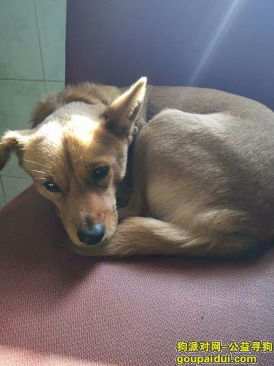 寻狗启示,姓名旺旺中小型黄狗  性别母,它是一只非常可爱的宠物狗狗,希望它早日回家,不要变成流浪狗。