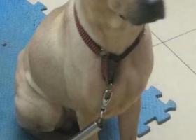 寻狗启示,急寻一只中华田园犬丽丽快回家,它是一只非常可爱的宠物狗狗,希望它早日回家,不要变成流浪狗。