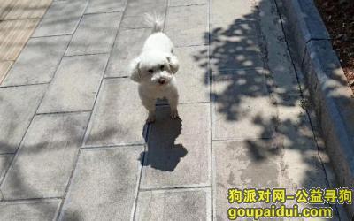 丽江寻狗启示,寻找丽江阿丹阁榨油坊附近丢失的比熊(白色泰迪),它是一只非常可爱的宠物狗狗,希望它早日回家,不要变成流浪狗。