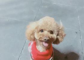 寻狗启示,上海市宝山区蕰川公路  地铁一号线 走失  公泰迪  名为洛优,它是一只非常可爱的宠物狗狗,希望它早日回家,不要变成流浪狗。